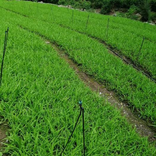 陕西省商洛市商州区紫花白芨苗 三叉紫花大白芨驯化苗