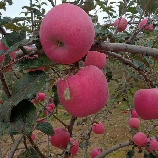甘肃省天水市秦安县 吃了一次想两次的苹果