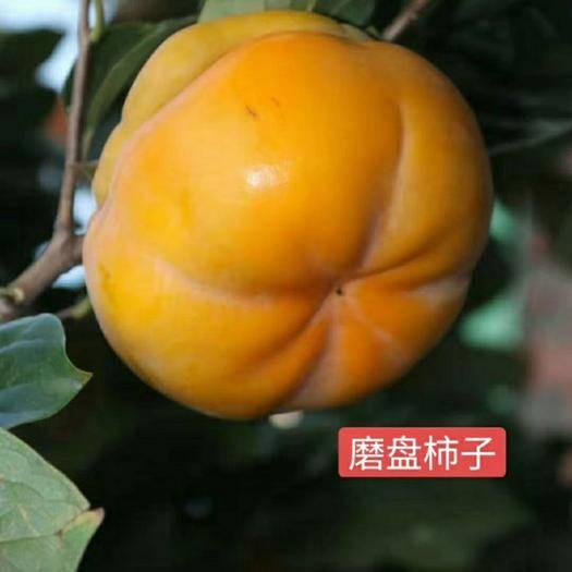 山东省临沂市平邑县日本甜柿子苗 公司承诺  保证成活率 保证品种 保证质量 保证结果