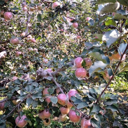 河北省衡水市枣强县 做品牌水果吃苹果选良翠!品质优良脆甜可口