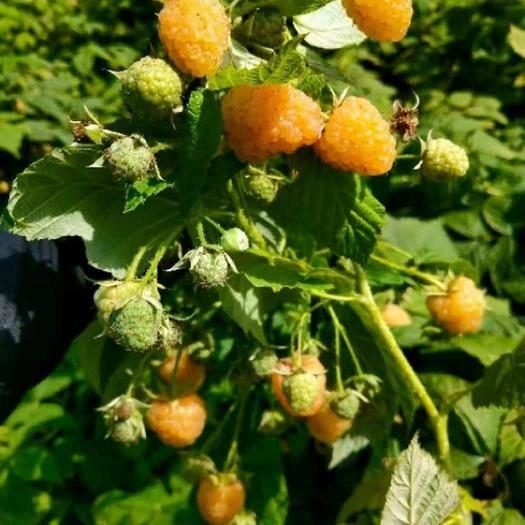 黑龙江省哈尔滨市尚志市黄树莓苗 新品种果实大产量高口感好