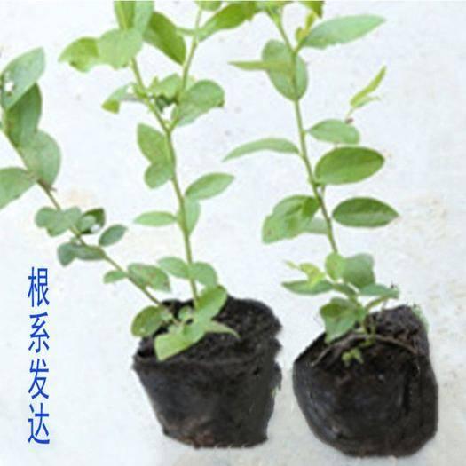 山东省临沂市平邑县蓝丰蓝莓苗 蓝莓树苗不含盆南北方种植四季当年结果