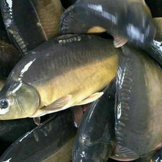 廣西壯族自治區崇左市寧明縣 山泉水庫高品質裸鯉。