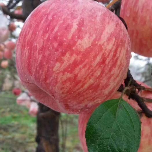陕西省铜川市耀州区红富士苹果 红富士