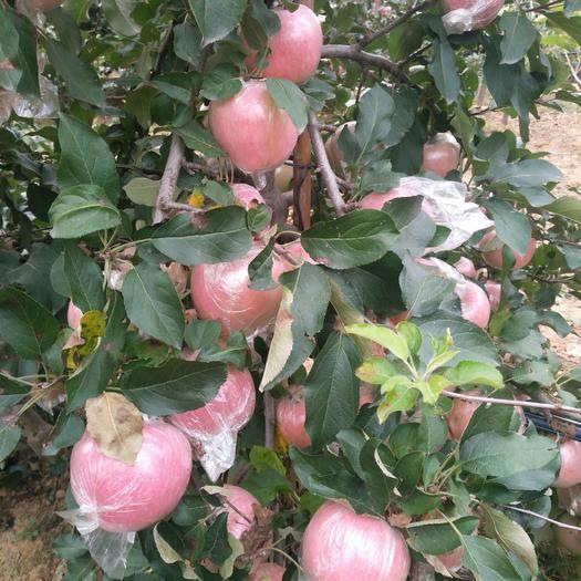 山东省临沂市沂水县 小幼树膜袋苹果,个大色红,糖度高