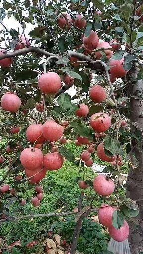 陕西省渭南市白水县 秦冠苹果