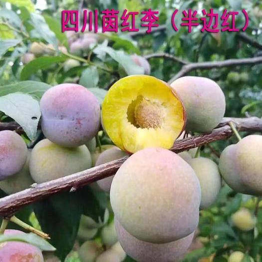 四川省成都市双流区 四川茵红李子树苗 半边红果树苗 丰产性晚熟~大量起苗