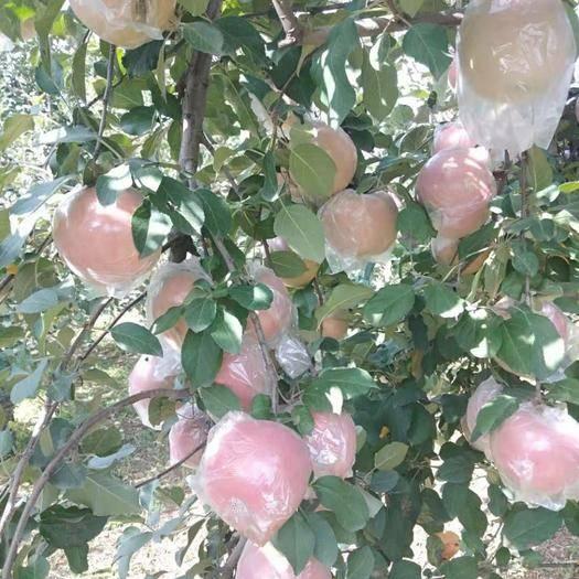 山西省运城市临猗县红富士苹果 75mm以上 片红 膜袋