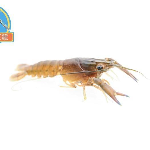广东省中山市中山市 澳洲淡水龙虾优质虾苗免费提供技术支持