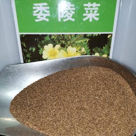 河南省郑州市二七区 委陵菜种子新种子包邮