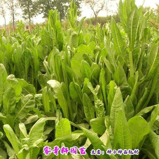 河南省郑州市二七区 菊苣种子新种子包邮