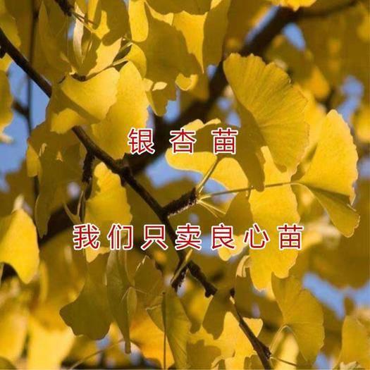 山东省临沂市平邑县银杏实生苗 银杏苗  成活率高  产量高  包成活