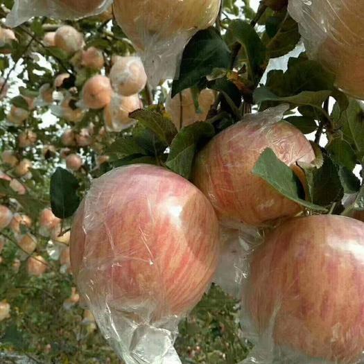 山西省运城市平陆县 山西运城平陆红富士苹果