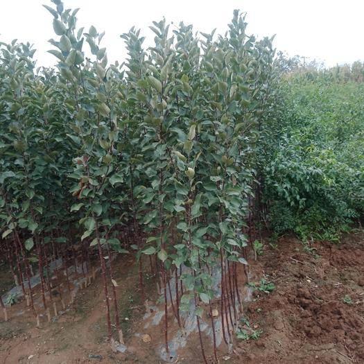 山东省临沂市平邑县矮化红富士苹果苗 1~1.5米