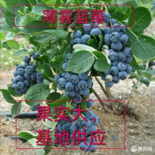 山东省临沂市平邑县 优质薄雾蓝莓苗基地供应,现挖现卖,保品种,带土发货,当年挂果