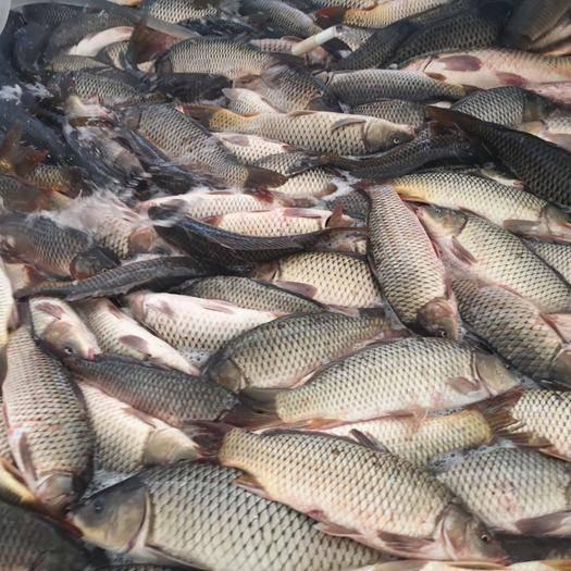 云南省曲靖市羅平縣 野生的大鯉魚