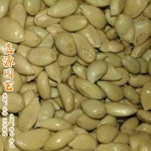 河南省郑州市二七区 红橘种子枸橘种子枳壳种子新种子包邮
