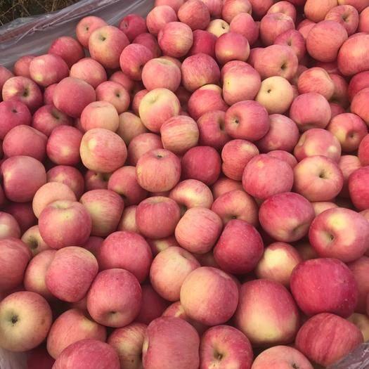 山东省烟台市栖霞市 山东栖霞红富士苹果