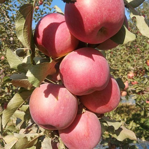 寧夏回族自治區中衛市沙坡頭區紅富士蘋果 光果富士