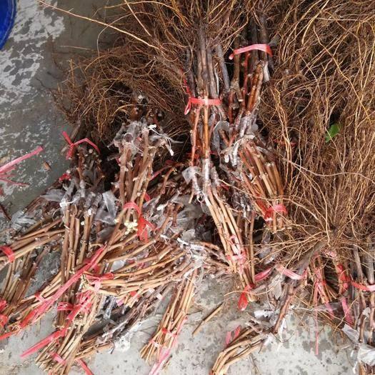 辽宁省葫芦岛市绥中县兴华王葡萄苗 保证质量和纯度