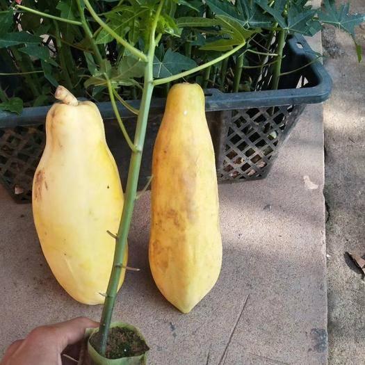 广西壮族自治区钦州市灵山县 黄金木瓜苗,带土球发货