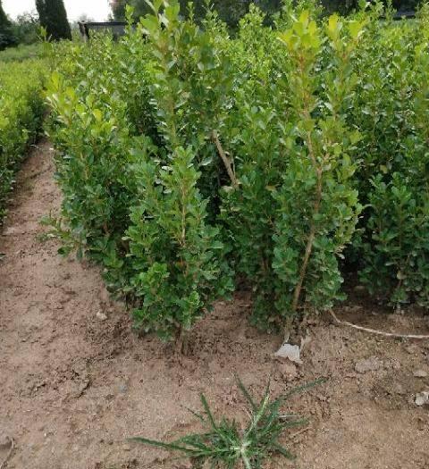 江苏省宿迁市沭阳县 瓜子黄杨,单颗,小毛球,质量自己看。