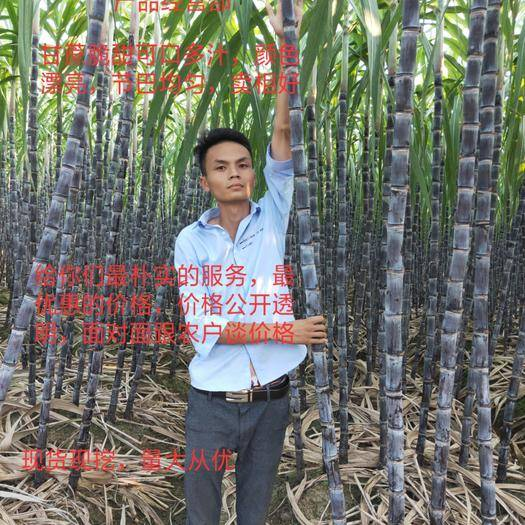 廣西壯族自治區玉林市博白縣 ????黑皮甘蔗,高長粗大,脆甜可口,量大從優,提供回頭車