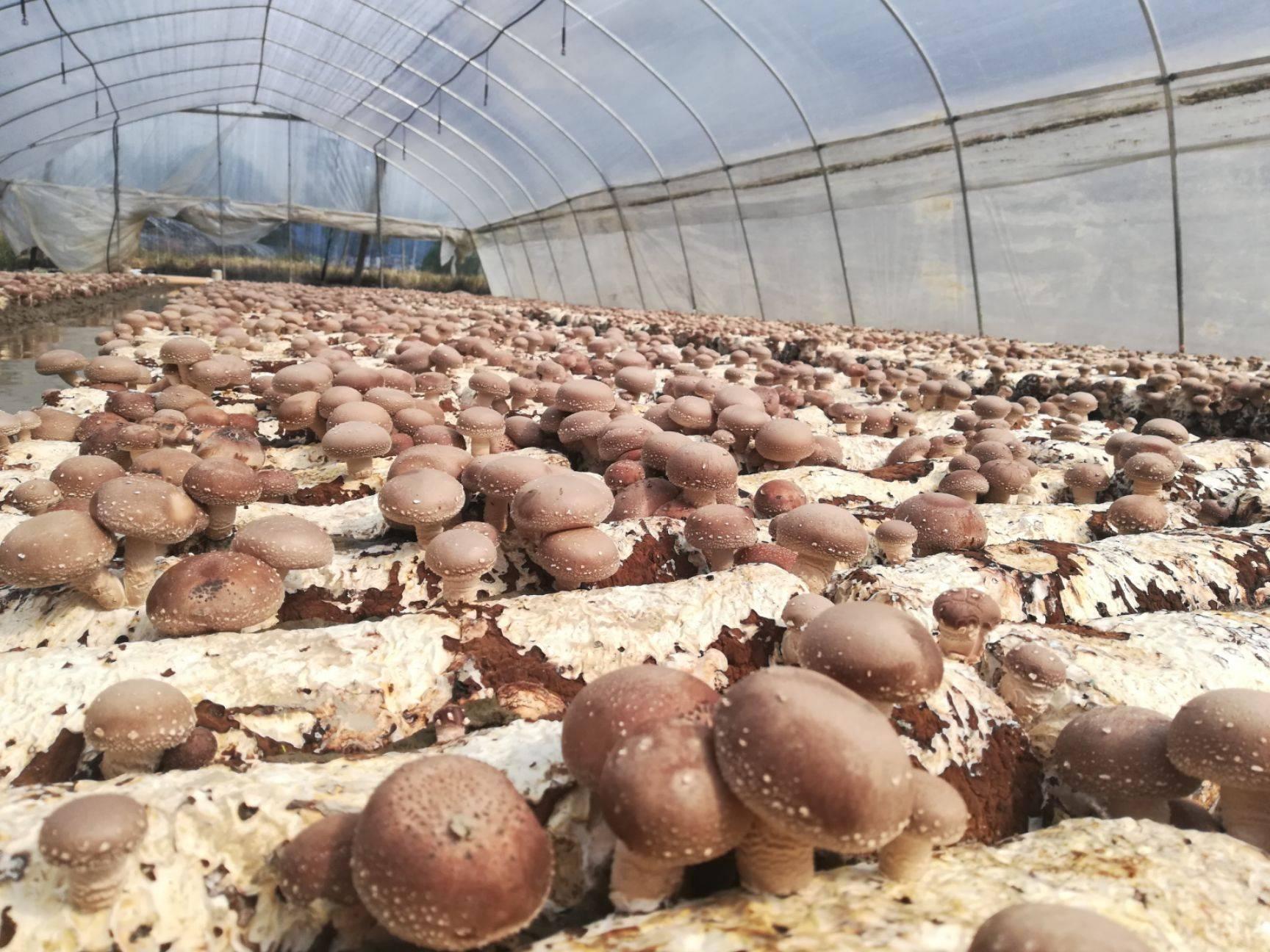 [香菇808批发]香菇808 纯天然绿色食品无添加价格6元/斤