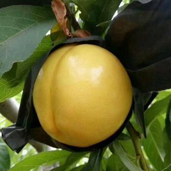中油19桃树苗,,纯甜,死苗秒赔,包邮包品种,最早一款黄油桃