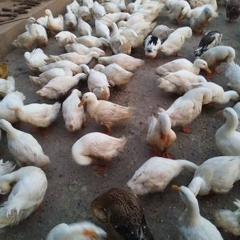 一点花鸭 6-7斤 统货 半圈养半散养