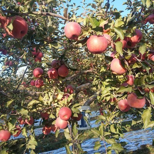 寧夏回族自治區中衛市沙坡頭區 寧夏中衛南山臺蘋果