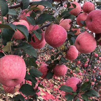 紅富士蘋果75-80mm 條紅 山區果園產地直銷