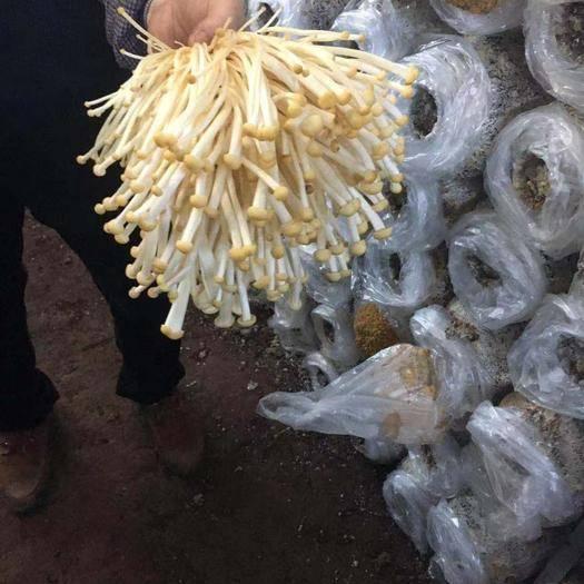 四川省乐山市峨边彝族自治县 黄金针菇即将上市大量出售