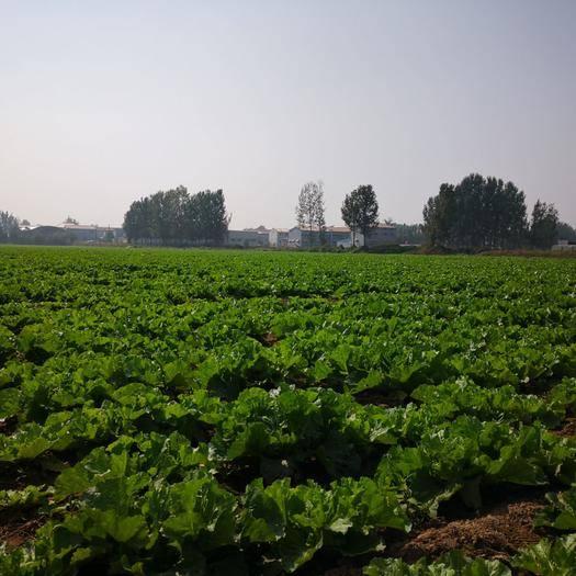 河南省新鄉市新鄉縣 新鄉小包23,60畝。單品3---5斤,品質優良!歡迎采購!