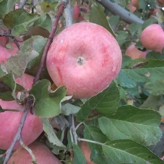 寧夏回族自治區中衛市沙坡頭區紅富士蘋果 原生態   原生態生物鏈式種植,歷經多次嚴霜寒露大溫差淬煉
