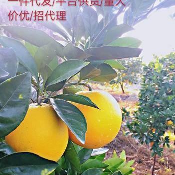 江西客家贛南臍橙 產地直發 個人代發 供貨 歡迎合作