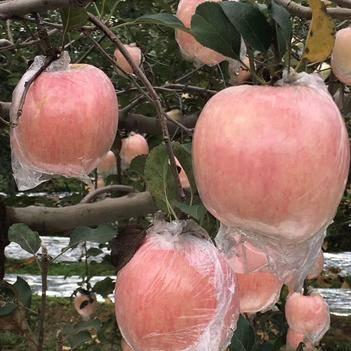 紅富士蘋果 膜袋75以上大果 一件代發 24小時發貨包售后