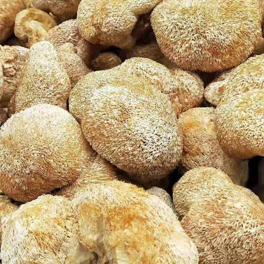 福建省寧德市古田縣 猴頭菇富含蛋白質、礦物質、維生素而且脂肪含量