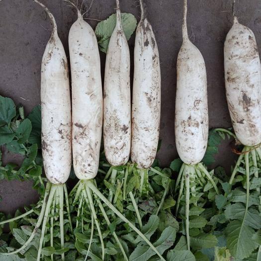 重庆市潼南区 重庆潼南白萝卜包地种植,基地直供