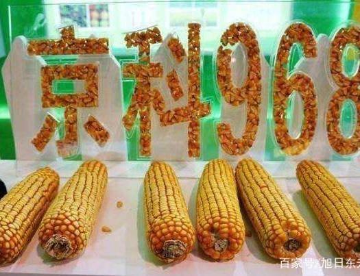 遼寧省沈陽市渾南區京科968玉米種子 屯玉京科968,廠家正品。