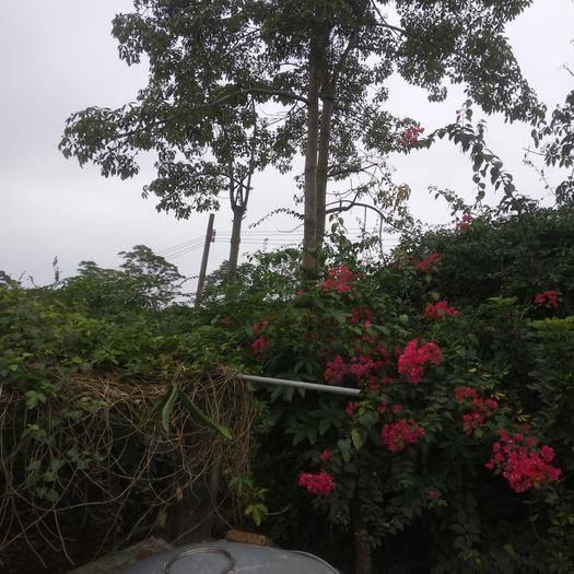 廣西壯族自治區欽州市靈山縣 10年樹木棉