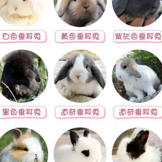江西省宜春市豐城市垂耳兔 黑白道奇兔