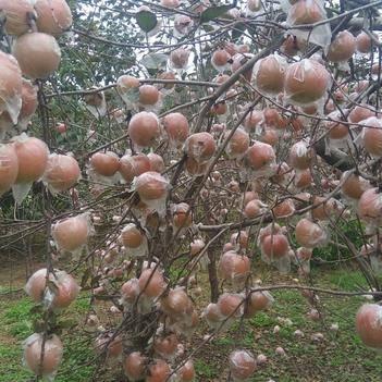 長富2號蘋果 有機陽光富士(長富二號),誰食用,誰健康!
