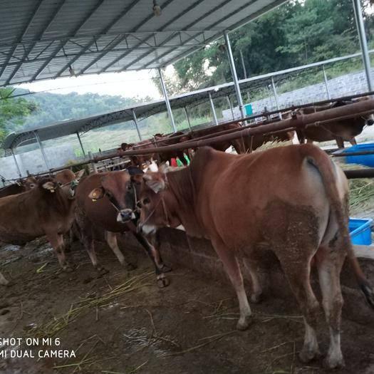 廣西壯族自治區南寧市馬山縣 出售土黃牛