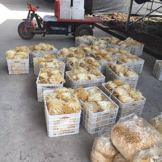四川省乐山市峨边彝族自治县 黄金针菇出售,量大从优
