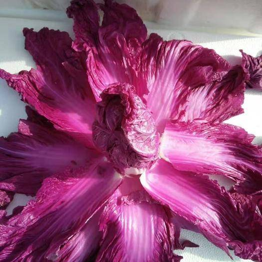 山東省濰坊市壽光市 韓國紫色白菜