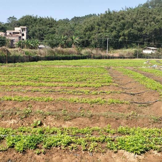 廣西壯族自治區玉林市興業縣 廣西對葉百部種苗