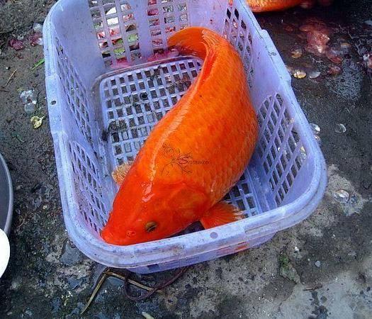 廣東省佛山市南海區 紅鯉魚苗十自孵水花