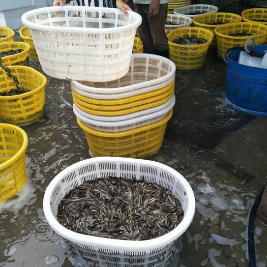 广东省广州市荔湾区 花鳅,泥鳅。半养殖