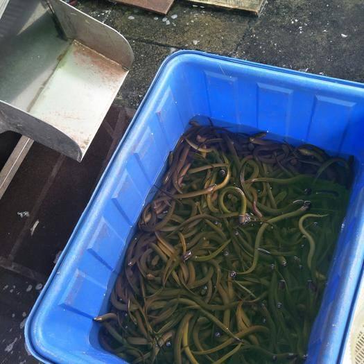 广东省广州市荔湾区 半养殖,缅甸黄鳝,孟加拉,长年供应